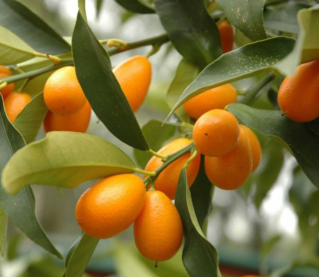 Kumquat Poetry Challenge